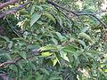 Lyonia ovalifolia NP.JPG