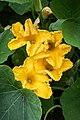 Männliche Kürbisblüten - Flickr - blumenbiene.jpg