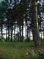 Mławka - drzewo syjamskie - panoramio.jpg