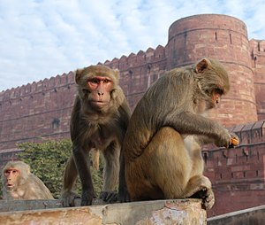 English: Rhesus Macaques (Macaca mulatta) in A...