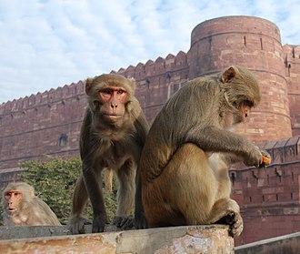 Rhesus macaque - Rhesus macaques in the Red Fort of Agra in India