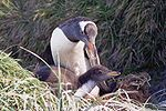 MacquarieIslandGentoo.JPG