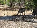 Macropus fuliginosus (28230667009).jpg