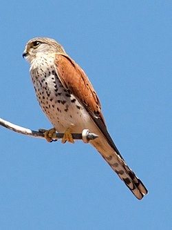 Madagascar Kestrel (Falco newtoni) Ambohitantely Reserve.jpg
