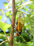 Female cicada laying eggs