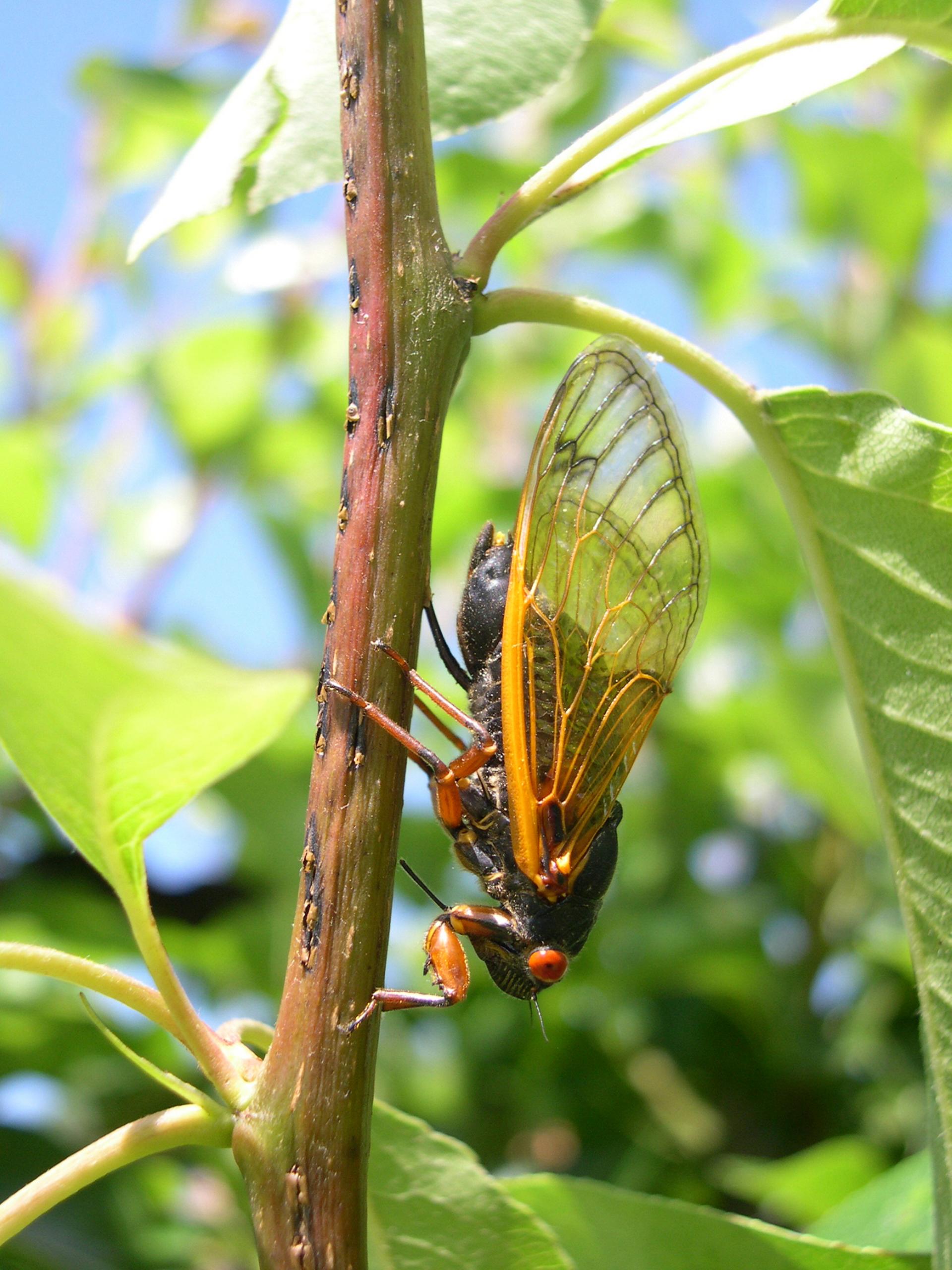 cassini periodical cicadas - photo #4