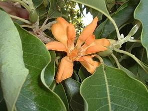 Champaka (Magnolia champaca)