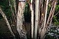 Magnolia tripetala 4zz.jpg