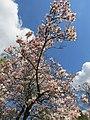 Magnolienbaum - panoramio (1).jpg