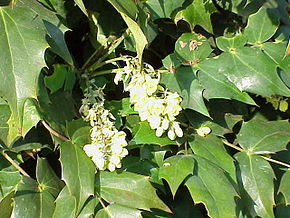 Description de l'image  Fichier:Mahonia_japonica2.jpg .