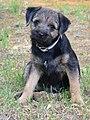 Maja Border Terrier.jpg