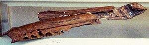 Majungasaurus - Neotype specimen of M. crenatissimus (MNHN.MAJ 1), the right dentary of a subadult individual, Muséum national d'histoire naturelle, Paris.