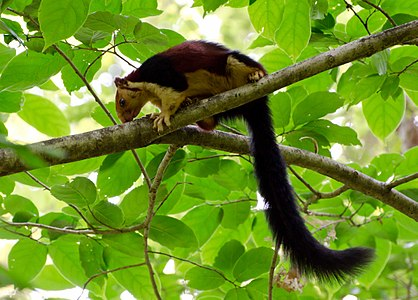 Malabar giant squirrel-thattekad.jpg