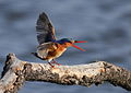 Malachite Kingfisher, Alcedo cristata at Marievale Nature Reserve, Gauteng, South Africa (14258422299).jpg