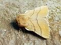 Malacosoma neustria ♂ - The Lackey (male) - Коконопряд кольчатый (самец) (40962376062).jpg