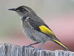 Male Crescent Honeyeater (retouched and cropped).jpg