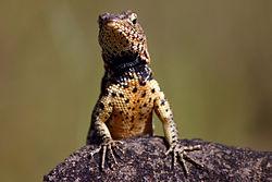 Male Galápagos Santiago lava lizard.jpg