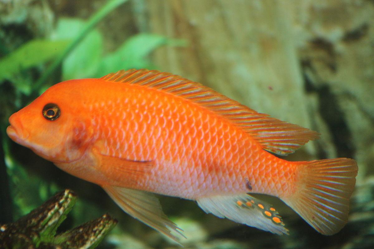 Maylandia estherae wikipedia for African cichlid fish