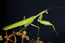 Male Sphodromantis viridis from near Campo Maior (Évora).jpg