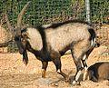 Male and female Cretan ibex (cropped).jpg