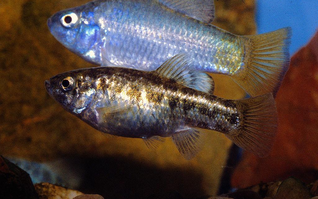 Male female mecularius