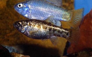 Desert pupfish rare species of bony fish