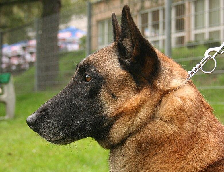 Beagle V German Shepard Whos The Best Gurd Dog