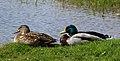 Mallards (Anas platyrhynchos), Wolvercote Lakes.jpg