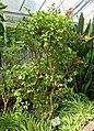 Malpighia glabra (Malpighia punicifolia) - Gora Park - Hakone, Kanagawa, Japan - DSC08545.jpg