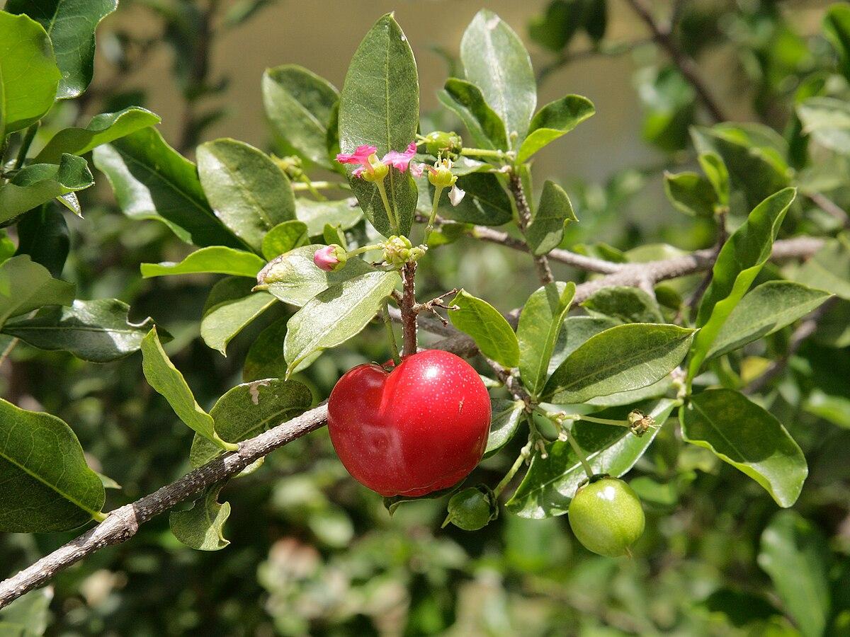 Барбадосская вишня — Википедия