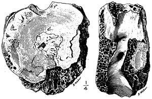Specimens of Tyrannosaurus - Illustration of the type specimen (AMNH 3982) of Manospondylus gigas