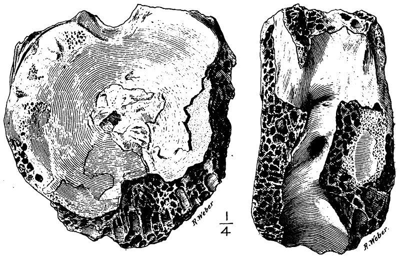 File:Manospondylus.jpg
