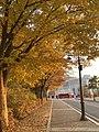 Maple tree in the sun.jpg