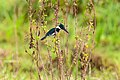 Martim-pescador-verde Fêmea (Chloroceryle amazona) - Amazon Kingfisher Female.jpg