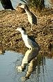Martinetes, joven y adulto - night heron young and mature - Flickr - ferran pestaña.jpg