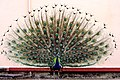 Mating Dance of Peacock @ Varanasi.jpg