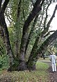 Mature Umbellularia lignotuber sprouts in Doyle Community Park.jpg