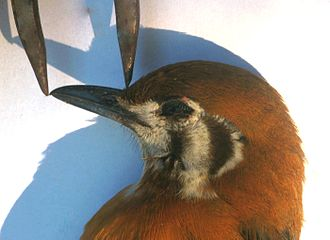 Beak - A thrush's culmen is measured in a straight line from the tip of the beak to a set point — here, where the feathering starts on the bird's forehead.
