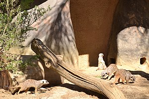 Happy Hollow Park & Zoo - Meerkats at the zoo.