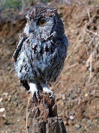 Western screech owl - Image: Megascops kennicottii USDOI