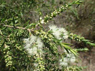 Melaleuca styphelioides - Melaleuca styphelioides foliage and flowers