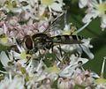 Melangyna labiatarum (female) - Flickr - S. Rae (11).jpg