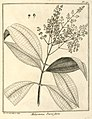 Melastoma parviflora Aublet 1775 pl 171.jpg