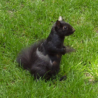 Melanism - Melanistic Eastern Grey Squirrel, fauna of Toronto, Canada