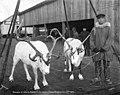 Men with reindeer at John J Sesnon Company docks, Nome, Alaska, October 28, 1907 (AL+CA 6835).jpg