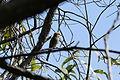 Merops ornatus (24609856385).jpg