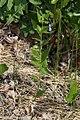 Mertensia paniculata 8786.JPG