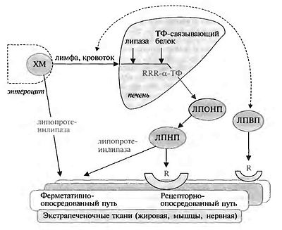 Метаболизм витамина Е