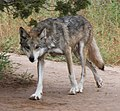 Mexican Gray Wolf 2 (14909630454).jpg