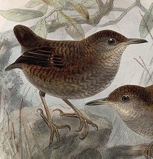 Northern nightingale-wren - Image: Microcerculus philomela 1902